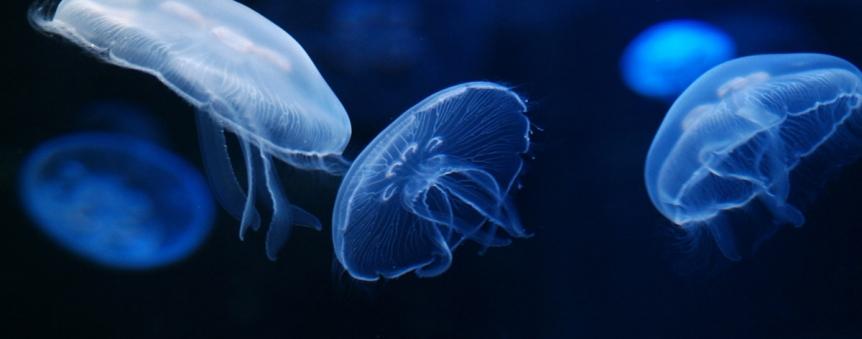 Aquarium de La Cité de la Mer : méduses © La Cité de la Mer/Sylvain Guichard
