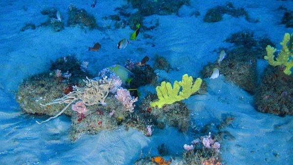 Un récif corallien découvert là où l'Amazone se jette dans l'océan Atlantique © Greenpeace
