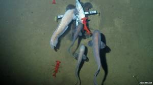 Abadèches photographiés dans la fosse des Nouvelles-Hébrides à 7000 de profondeur © Oceanlab