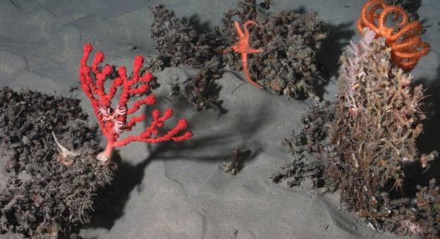 A 1 545 m de profondeur, dans le canyon de Lampaul (golfe de Gascogne), des coraux d'eau froide (