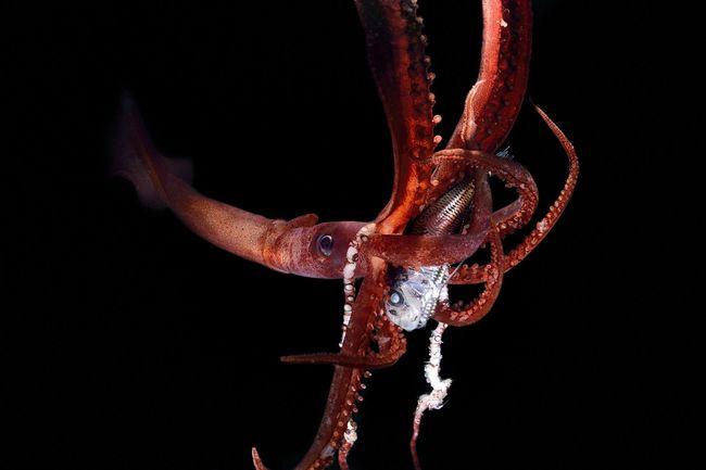 Calmar (Chiroteuthis mega) vivant dans l'océan Atlantique, au large des îles du Cap Vert. Pour attirer ce poisson, le calmar a probablement utilisé ses photophores, des cellules qui émettent de la lumière. © Solvin Zankl