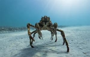 Le crabe araignée de mer géante
