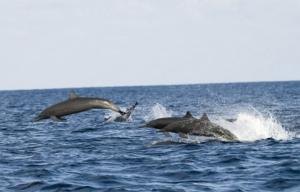 Le dauphin Stenelle à long bec