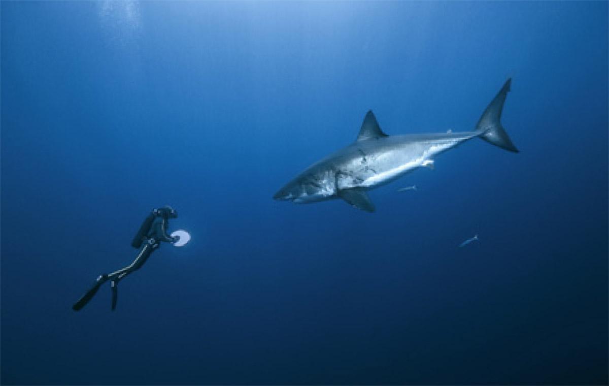 Animaux des oc ans m diath que de la cit de la mer - Dessin de grand requin blanc ...