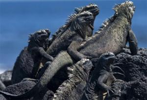 L'iguane marin