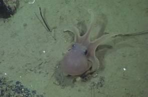 La pieuvre juvénile Graneledone boreopacifica © MBARI