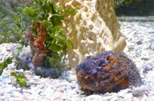 Le poisson-pierre