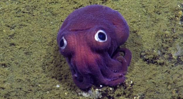 Un calamar trapu (Rossia Pacifica) filmé à 900 mètres de profondeur © Nautilus Live 2016