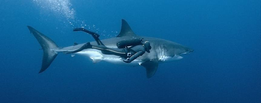François Sarano et le grand requin blanc © Galatée Films