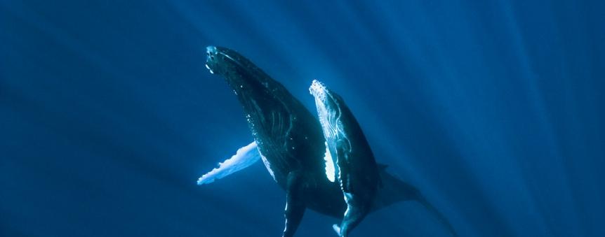 Baleines à bosse © Roberto Rinaldi / Galatée Films