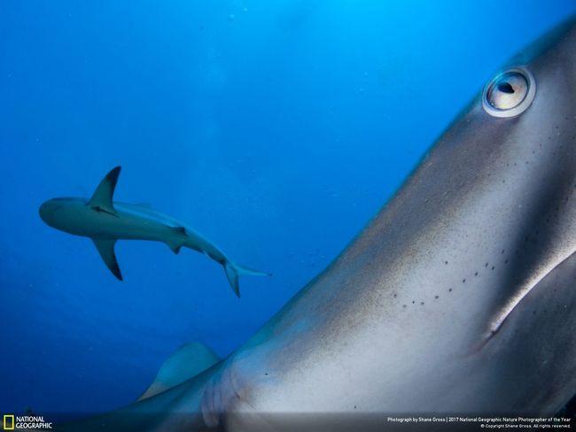 In your face, requin de récif des Caraïbes, 2e prix du concours National Geographic 2017 © Shane Gross
