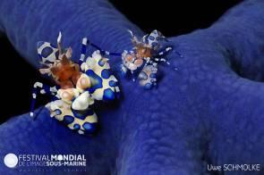 Crevette Arlequin sur une étoile de mer bleue © Uwe Schmolke