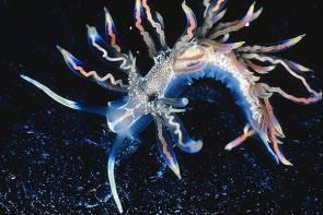 La limace de mer Phyllodesmium acanthorhinum découverte en 2014 © Robert Bolland