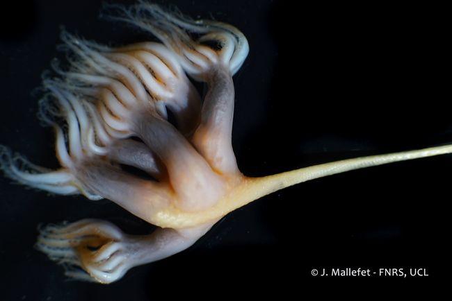 Umbellula © Dr. J. Mallefet – FNRS – UCL