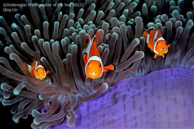 Des espèces marines menacées par le réchauffement et l'acidification de l'Océan © Qing Lin /UPY2017