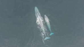 Une baleine et son petit © Oregon State University