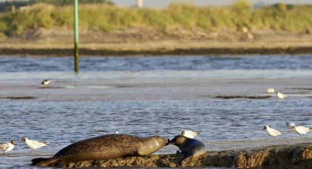 Le phoque veau-marin vit dans les eaux normandes (Phoca vitulina) © Agence Yo - Robert Guégan
