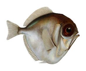 La Dirette argentée Diretmus argenteus peut probablement voir une variété de couleurs dans des conditions de faible luminosité ©Citron-Wikimedia Commons