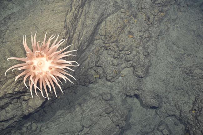 Anémone géante posée sur un bloc de lave d'un site hydrothermal du bassin de Lau ©CHUBACARC 2019-Ifremer