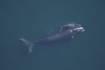 La baleine franche de l'Atlantique nord (Eubalaena glacialis) aussi appelée baleine noire de l'Atlantique nord © NOAA Photo Library