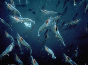 Krill antarctique © Flickr Norkrill