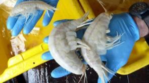 Des amphipodes (petits crustacés à l'allure de crevette ) vivant dans les fosses océaniques © OceanLab/Université d'Aberdeen/AP