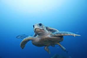 La tortue caouanne (caretta caretta) © Brandon Cole / Biosphoto