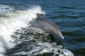 Un Grand dauphin (Tursiops truncatus) surfe dans le sillage d'un bateau de recherche sur la Banana river, près du Centre spatial Kennedy. © NASAs http://mediaarchive.ksc.nasa.gov/detail.cfm?mediaid=21807