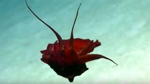 """Un calmar """"bizarre"""" filmé à 850 mètres de profondeur dans le Golfe du Mexique 2018 © NOAA Okeanos Explorer"""