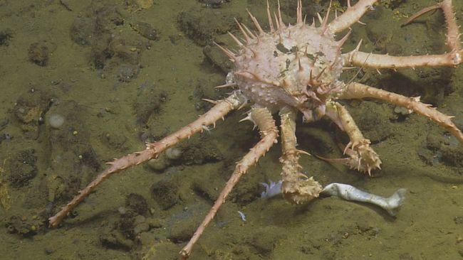 Ce crabe tient dans ses pinces une partie d'un ver Riftia © Nautilus Live