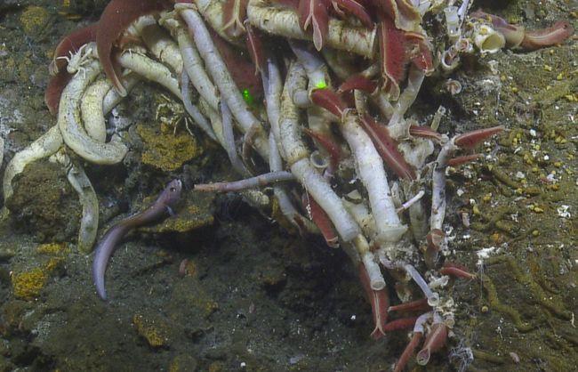 """Quelques exemples d'espèces vivant au niveau des sources hydrothermales : vers tubicoles Riftia, petits poissons allongés de couleur rosâtre de la famille des zoarcidés (""""Pachycara gymnium"""") ; tapis de couleur jaunâtres constitués de microorganismes bactériens... © Nautilus Live"""