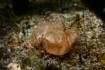 La méduse Cassiopea xamachana vit dans l'océan Atlantique occidental, la mer des Caraïbes et le golfe du Mexique ©Marco Almbauer