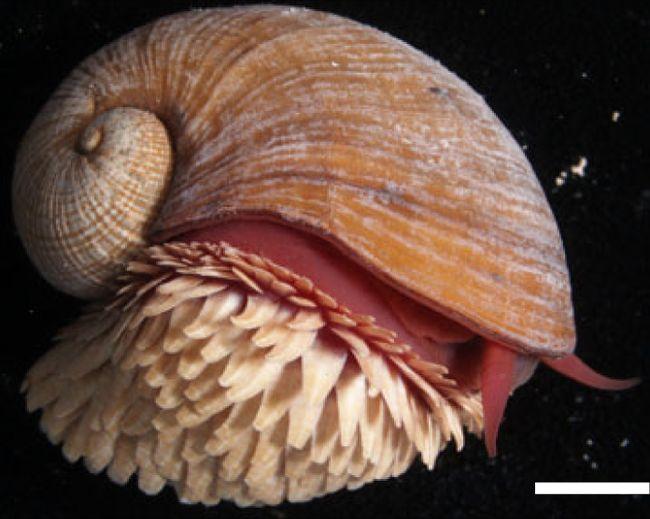 L'escargot écailleux Chrysomallon squamiferum vit à proximité des sources hydrothermales.