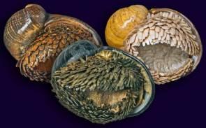 L'escargot écailleux des profondeurs abyssales figure dans la liste rouge des espèces menacées de l'UICN dans la catégorie En danger ©Chong Chen
