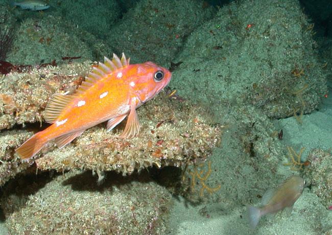 Colonie de petit corail jaune Chromoplexaura cordellbankensis © NOAA