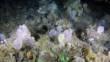 Jardin de coraux et d'éponge 550 m de profondeur au large du Groenland ©ZSL/GINR