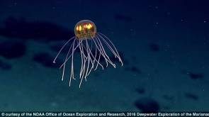 Une méduse filmée à proximité de la fosse des Mariannes © NOAA Office of Ocean Exploration and Research, 2016 Deepwater Exploration of the Marianas.