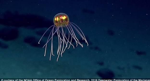 Une méduse filmée à proximité de la fosse des Mariannes © NOAA Office of Ocean Exploration and Research, 2016 Deepwater Exploration of the Marianas.
