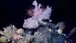 Des gorgones, des coraux noirs mais aussi des éponges et des crustacés décapodes s'épanouissent ainsi au cœur de ce