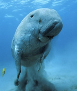 Le dugong