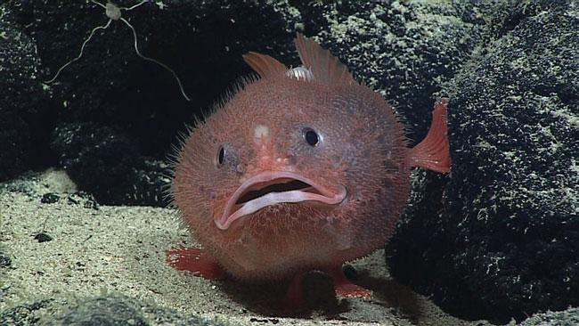 les poissons-coffres vivant entre 200 et 2 000 mètres de profondeur, ne respirent pas régulièrement avec leurs branchies mais retiennent leur souffle ©NOAA