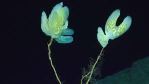 Un groupe spectaculaire de cténophores (Lyrocteis imperatoris) à 358 mètres de profondeur. © Schmidt Ocean Institute