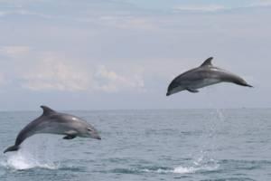 Grands dauphins du Cotentin © Groupe d'Etudes des Cétacés du Cotentin GECC