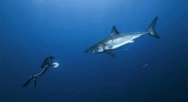 Rencontre entre le grand requin blanc et le plongeur François Sarano © Pascal Kobeh / Galatée Films