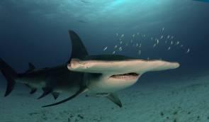 Un requin marteau © Albert kok/Wikipédia
