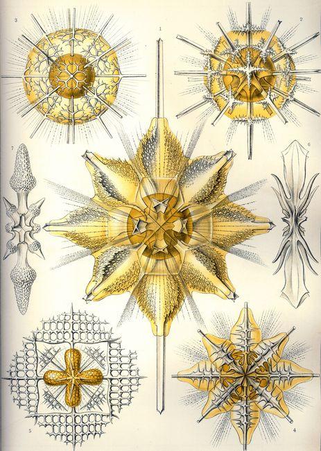Acanthometra © Ernst Haeckel - Kunstformen der Natur (1904)