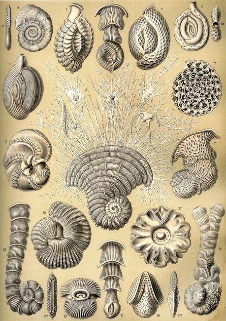 Thalamophora © Ernst Haeckel - Kunstformen der Natur (1904)