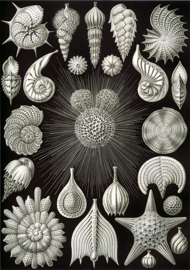 Lorsque les foraminifères meurent, leurs coquilles s'enfoncent dans le fond marin et sont conservées dans les sédiments © Ernst Haeckel - Kunstformen der Natur (1904)