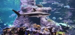 Le requin pointes noires