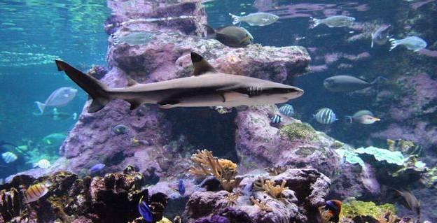 Le requin pointes noires (Carcharhinus melanopterus) © La Cité de la Mer